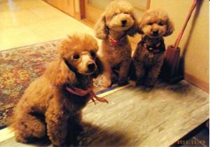 プードル 左から  ピーコ(女3才) ココ(女5才) ジョリー(女3才)
