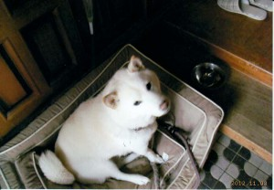 柴犬 サクラ(男12才)