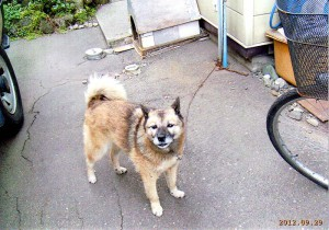 北海道犬  チョコ(男9才)