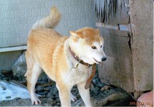 柴犬  チロ(男12才)