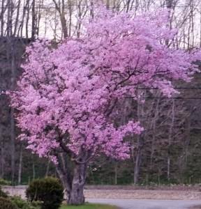 ~満開になった我が家の桜~