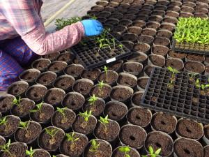 育苗ポットに土を入れて一つ一つ指で穴をあけ そこに苗を入れていきます。 元気に育つよう祈りながら作業をします♪
