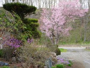 我が家の桜の木が満開になりました!