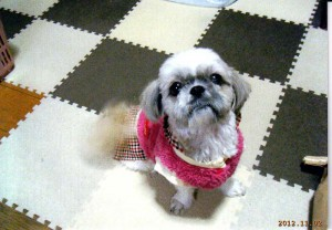 シーズ犬  メル(女3才)