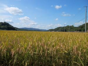 稲刈り直前の写真。空が広ーいよ!!