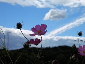 空に映えるコスモスの花