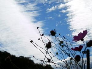もういっちょ!コスモスの花