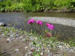 うちの川のお花♪花の名前は分かりませんが。。。 キレイな花を咲かせています。