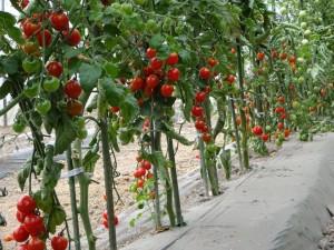 花だけでなく実りも豊かになるこの季節。 ミニトマトがキレイに色づきました!