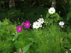 田んぼの見回り中、コスモスの花を発見! 季節はずれの開花はより目立ちます♪
