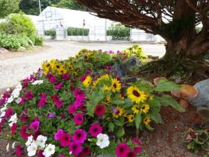 我家の庭の花が綺麗に咲きました!背の低い ヒマワリが可愛らしいです♪右に写っている キノコは陶器で出来たキノコもどきです(笑)