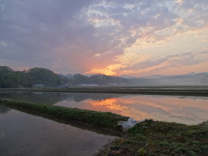田植えは日が昇り始める朝5時頃から始めます。