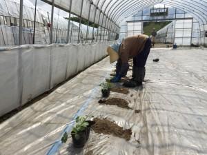 メロンやスイカ、カボチャの苗を植えます♪ その作業をする祖母。遠くにいる祖父も カメラを意識してるんかな?(笑)