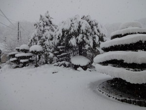 降った雪は「ぼた雪」。 雪の重みで木の形が変わっています。