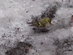 黄色い小鳥です。 綺麗だったので思わずシャッターを切りました!
