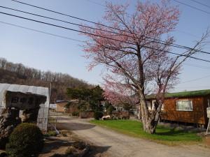 我家のエゾサクラの木。 今年は例年より早く開花しました。