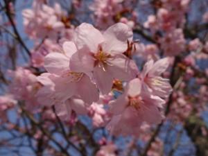 本州で咲くソメイヨシノより色が濃いですね!