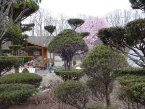 桜の手前にある斬新な形をした木は 父が剪定して作った渾身の作品です(笑)