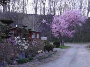 ゴールデンウィーク前に桜が満開に。