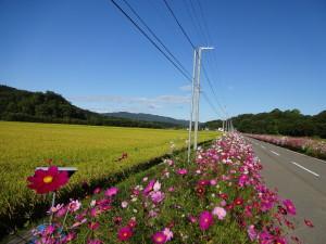 稲穂が色づき始めた秋、コスモスの花が 満開になります♪