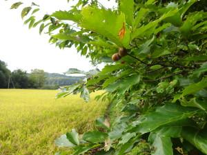 この時期はドングリも実ります。この木は うちの田んぼにあるドングリの木ですね!