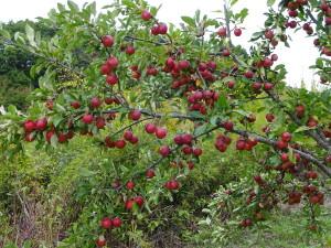 ピンポン玉サイズのリンゴ、「ひめりんご」も 実りました!これも田中農園の畑で栽培 しています♪