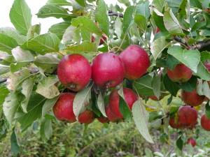 このりんごは小さくて、綺麗な赤色をしていて、 とても可愛いです♪欲しい方には無料でお配り してます!(秋限定)