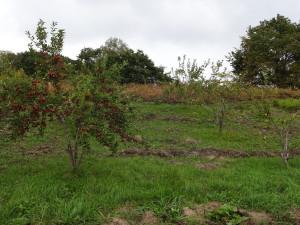 これが我が農園のリンゴ畑でーす♪