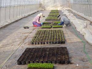 3月に入り農作業がスタート! 最初の仕事はピーマンの苗の育成です。