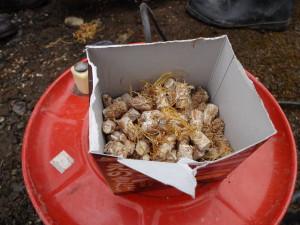 キノコの原木栽培をお手伝いをしてました!