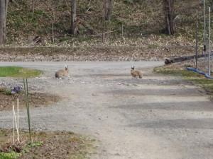 こちらは北海道の野ウサギです! ひょこっとウチに遊びに来ました♪