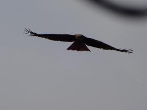 こちらは鷹ですね!