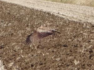 鷹など鳥は耕した後の田んぼに降り立って、 ミミズなどの虫たちを食べます