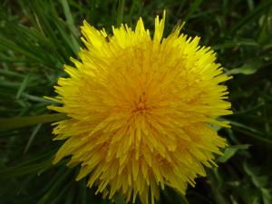 こちらはタンポポの花♪ とても綺麗だったので写真を撮りました!