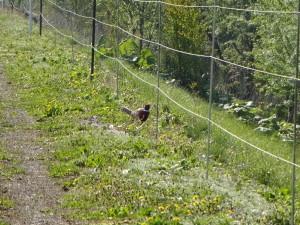 これはキジですね(^-^) この鳥は警戒心が強くすぐに逃げてしまうので、 望遠で撮影しました!