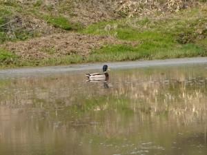田んぼで泳ぐカモ。田んぼに水が入る この時期はよく遊びに来ます♪