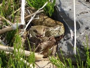 【閲覧注意!】こちらは「アオダイショウ」。 よく見ると、、、カエルを食べようとしております( ゚Д゚)